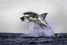 """Squalo bianco: attacco """"aereo"""" alla foca"""