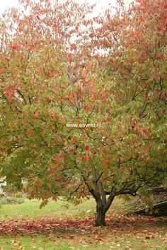 94 Best Ornamental Trees For Zone 4 Amp 5 Images In 2019
