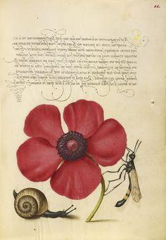 Joris Hoefnagel - Terrestrial Mollusk, Poppy Anemone, and Crane Fly, Mira calligraphiae monumenta, fols. 1-129 written 1561 - 1562; illumination added about 1591 - 1596