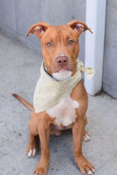 Brooklyn Center REECE – A1090456 MALE, BROWN / WHITE, AM PIT BULL TER MIX, 1 yr STRAY – EVALUATE, NO HOLD Reason STRAY Intake condition EXAM REQ Intake Date 09/19/2016, From NY 11234, DueOut Date 09/22/2016,