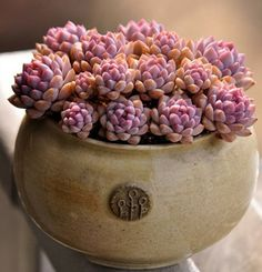 Moon stone - I want to find this in pink. Pachyphytum oviferum