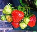 Kenya Info Hub: Strawberry growing in Kenya 2015