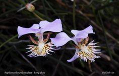 Orchid:Papilionanthe pedunculata