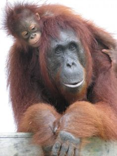 The mission of the Orangutan Foundation International is to support the conservation, protection, and understanding of orangutans and their rain forest habitat while caring for ex-captive orangutan orphans as they make their way back to the forest.