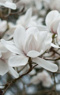 Magnolia, so pure and here in the UK they come out early, this year there were no frosts to tarnish their beauty. Magnolia, so pure and here in the UK they come out early, this year there were no frosts to tarnish their beauty. White Flowers, Beautiful Flowers, Most Popular Flowers, Magnolia Flower, White Magnolia Tree, Magnolia Trees, White Gardens, Ikebana, Planting Flowers