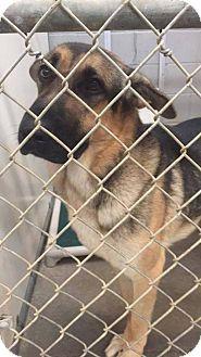 New York, NY - German Shepherd Dog. Meet Abrazo, a dog for adoption. http://www.adoptapet.com/pet/16638884-new-york-new-york-german-shepherd-dog