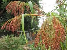 how to grow broom corn and make your own brooms ~ just added these to my planting list! can't wait for spring!!!