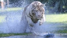 They include a majestic white Bengali tiger called Uma, who weighs in at 350lbs, but can still accelerate at up to speeds of 47 mph. | www.petnook.in
