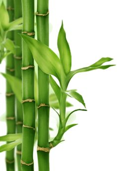 You should certainly know how you can protect yourself and take some precautions, by knowing these 5 invasive plants and shrubs that you should not plant. Bamboo Light, Bamboo Art, Bamboo Crafts, Image Zen, Bamboo Landscape, Deco Zen, Bamboo Tattoo, Invasive Plants, Lucky Bamboo