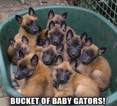 Adorable -- A tub o' Malinois puppies! Berger Malinois, Belgian Malinois Puppies, Belgian Shepherd, German Shepherd Dogs, German Shepherds, Belgium Malinois, War Dogs, Military Dogs, Working Dogs