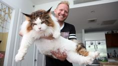 4ft Long Samson Is New York's Biggest Cat: CUTE AS FLUFF - YouTube