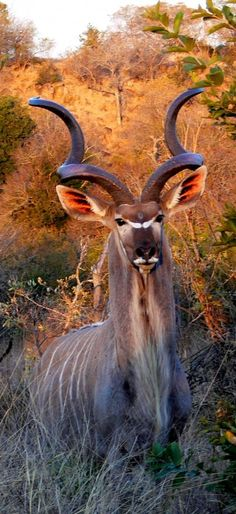 *Greater Kudu Bull