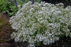 "Hearty Baby's Breath Gypsophila. Clouds of tiny white flowers on densely branched plants May thru Oct. Great cut or dried.12-18"" tall; 16-24"" spread & spacing. Gypsophila+paniculata"