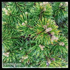 Pinus mugo v. pumilio | Plants Map