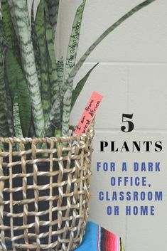 Best Plants for a Dark Classroom or Office – The Gifted Gabber No classroom set up (office set up, house set up, you get the point) is complete without some indoor plants! We've got the best five houseplants (that don't need sunlight) for your dark space. Cool Plants, Potted Plants, Indoor Plants, Shade Plants, Porch Plants, Potted Flowers, Hanging Flowers, Tomato Plants, Succulent Plants