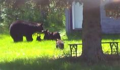 Bear Family To Be Killed Because Dumb Humans Wouldn't Leave Them Alone