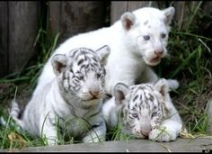 A Trio of 45 day-old Bengal white tiger cubs were born in December 2007 At the Buenos Aires Zoo. With only 240 white tigers living in the world, their birth gave a boost to the animals' endangered population. I Love Cats, Big Cats, Beautiful Cats, Animals Beautiful, Beautiful Babies, Beautiful Creatures, Endangered Tigers, Endangered Species, White Tiger Cubs