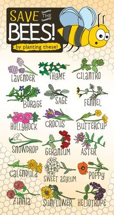 Bees are responsible for most of pollination and they are becoming scarce! Help save the bees by planting these flowers!