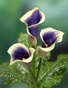 Calla Lilies ... Beautiful