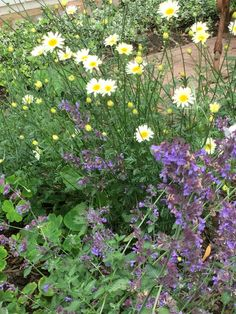 Anthemis Sauce Hollandaise and Nepeta Walkers Low...end of June