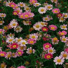Argyranthemum frutescens - Fine Gardening Plant Guide