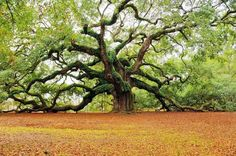 Angel Oak is a live oak tree that is located in Angel Oak Road in Johns Island, South Carolina. Angel Oak is significant because it is believed to be close to years old. Carolina Do Sul, South Carolina, Angel Oak Trees, Tree Angel, Book Angel, Live Oak Trees, Johns Island, Tree Photography, Learn Photography