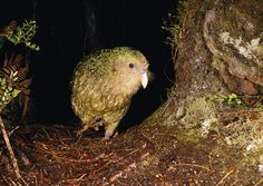 Flightless Parrot, Kakapo Parrot, Love Birds, Beautiful Birds, National Geographic, New Zealand Wildlife, Body Odor, Cute Images, My Heart Is Breaking