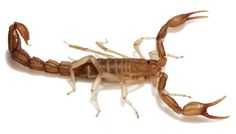 These scorpions can live in attics and in between the drywall of your home. Outside, they are often found in the pillars on cinder block walls