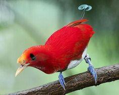 Королевская райская птица (лат. Cicinnurus regius) king bird-of-paradise — вид воробьинообразных птиц из семейства райских птиц (Paradisaeidae). Она обитает на большей части острова Новой Гвинеи. Длина тела — 16 см.