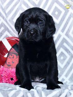 Labrador Retriever Puppy For Sale In Ohio Buckeyepupppies