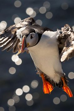 Puffin...love these guys