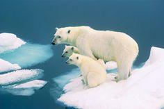 Vos podes salvar a esta familia de osos. Tu firma cuenta: www.salvaelartico.org