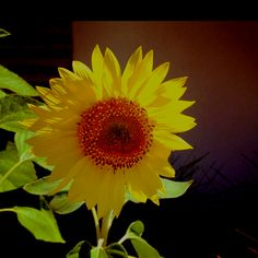 Helianthus annuus or the Common Sunflower