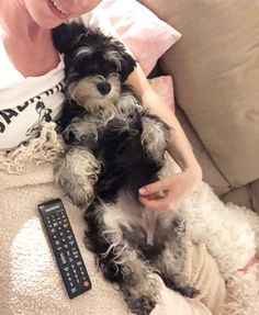Staying at Auntie Lola and Evies house whilst Nana and Papa are on holidays. Lola is hogging the remote like a right selfish sausage dog #selfish #remotehog #schnauzersofinstagram #schnauzer #minischnauzer #miniatureschnauzer #dogswithbeards #schnauzer_feature #schnauzer_lovers #schnauzermini #instadog #puppy #dogsofinstagram #ukdogsofinsta