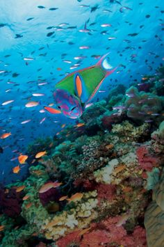 Namena Marine Reserve - Electric Wrasse Vibrant and valuable underwater life like this colorful electric wrasse have led village chiefs in Fiji to take conservation efforts into their own hands. Underwater Life, Underwater Photos, Underwater Photography, Life Under The Sea, Under The Ocean, Timor Oriental, Especie Animal, Beneath The Sea, Salt Water Fish