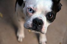 Buster the Boston Terrier.  I love him!