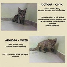 BOTH BABIES PULLED BY ANJELLICLE - TO BE DESTROYED 8/22/14 ** BABY ALERT! Both kittens are calm, relaxed and friendly ** Brooklyn Center My name is ONYX. My Animal ID # is A1011047. I am a female torbie domestic sh mix. The shelter thinks I am about 10 WEEKS old. My name is OWEN. My Animal ID # is A1011046. I am a male org tabby and white domestic sh mix. The shelter thinks I am about 10 WEEKS old. I came in the shelter as a STRAY on 08/18/2014
