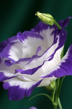 Lisianthus (Eustoma) - Something different for the garden. I want a crazy colorful flowerbed this year!