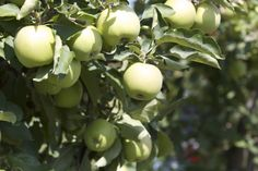 Crispy fresh Apples Orchards, Fresh Apples, Fruit, Food, Essen, Meals, Yemek, Fruit Tree Garden, Eten