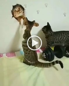 cats were surprised to look at photo of cat on the wall Funny Cats And Dogs, Cats And Kittens, Best Cat Gifs, Cute Little Kittens, Cat Selfie, Curious Cat, Cat Behavior, Cat Facts, Funny Cat Videos