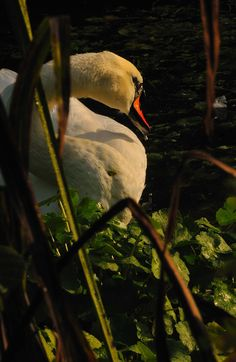 nikonf2s:  Mute Swan - A Private View. Early This Morning Along The Weaver River Bank. Cheshire, England  September 2015. Nikon D300 VR 70-300 f4.5 - 5.6G  Shot at 180mm f32 1/100th sec.