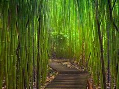 We road Hana Highway on a motorcycle in the rain (SO much fun!), but we missed this- Hana Highway Bamboo Forest in Maui Beautiful Places In America, Oh The Places You'll Go, Places To Visit, Hawaii Vacation, Maui Hawaii, Hawaii Usa, Bambu Garden, Bamboo Forest Maui, Bamboo Tree