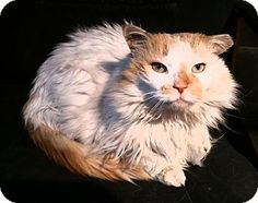 Pictures of Mr. Lincoln a Domestic Longhair for adoption in Chicago, IL who needs a loving home.
