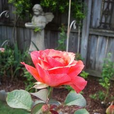 We dont know the name of this rose, we just call it pretty....