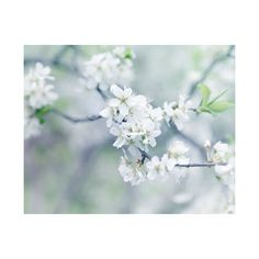 Spring Blossom Photography, White Blossoms, Blossoms Print, Spring... ($30) ❤ liked on Polyvore featuring home, home decor, wall art, white home decor, cottage home decor, floral wall art, photographic wall art and flower wall art