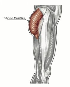 Butt-ology How to Enhance Your Gluteal Muscles - Fitness, gluteus maximus, glute exercises, posterior chain Gluteal Muscles, Psoas Muscle, Muscle Food, Muscle Fitness, Bigger Legs Workout, Pilates, Glute Exercises, Thigh Workouts, Gym Workouts