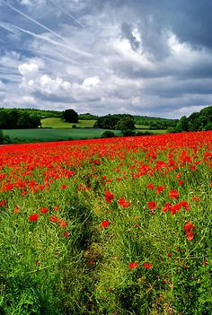 Poppy Field, The Cotswolds, England byGiles Clare