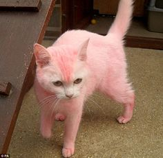 It's a pink kitty! I want a pink kitty! Pink Love, Pretty In Pink, Hot Pink, Pretty Cats, Beautiful Cats, Cane Corso, Sphynx, Chinchilla, Pink Animals
