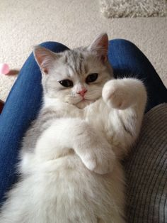 Poppy is a 12 wk British Shorthair silver/white kitten, who likes nothing better than to snuggle on any available lap! She entertains us by watching television and standing on her hind legs. Poppy is truly one in a million!