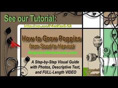 TUTORIAL: 'How to Grow Somniferum Opium Poppies' - With over 15 years experience Growing Poppies & Over 45+ Varieties of Somniferum Poppy Seeds to help get you Started: https://www.OrganicalBotanicals.com/tutorial-how-to-grow-somniferum-poppies/   Time to Plant is in the Spring & Fall so hurry up!